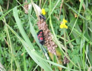 6 spot burnet just emerged from cocoonx_cr