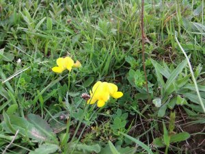 Bird's Foot Trefoil_tn