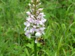 Crab spider eating bumblebee on Common Spotted orchid, taken by Viv Phillips