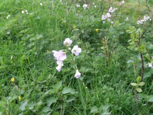 Cuckooflower_tn