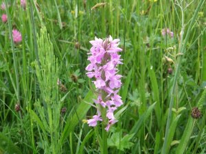 Early Marsh Orchid_pc