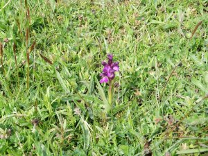 Green-winged Orchid (2)_tn