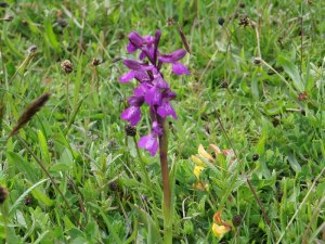 Green-winged Orchid (3)_tn