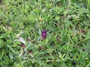 Green-winged Orchid_tn