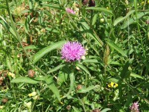 Knapweed_pc