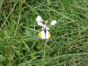 Orange Tip_tn